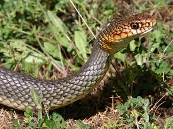 Emberre is támad, karnyújtásnyira lakik a legveszélyesebb és legnagyobb kígyónk
