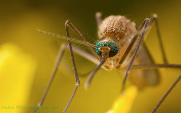 Szúnyoginvázió miatt lép a katasztrófavédelem