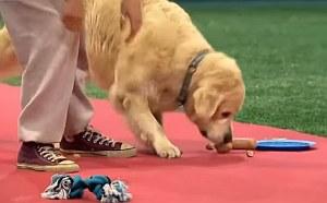 Kutyavilág – az engedelmes retriever hódít az interneten