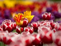 tulipanok