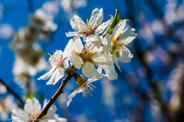 Mandulavirágzással robbant a harkányi tavasz