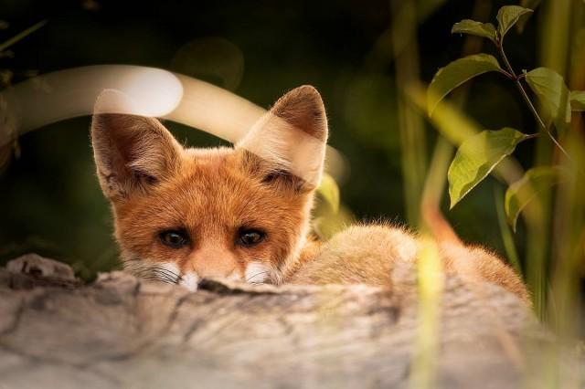 Veszett rókát találtak Borsodban
