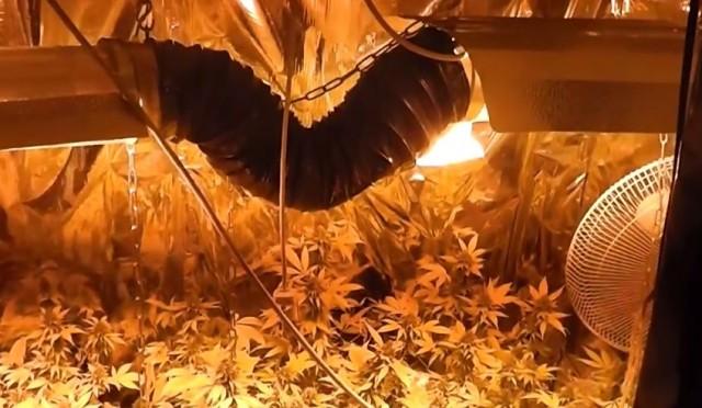 Harkányban nevelgették a marihuánát, járőrök buktatták le őket – VIDEO