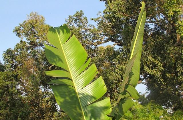 Kertészkedők figyelem, ideje visszavágni a banánokat!